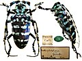 Anoplophora graafi (Ritsema, 1880) Cerambycidae Specimen from Sumatra (9154252701).jpg