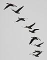 Anser anser -Norfolk Broads, England -flying-8.jpg