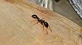 Ant (Formicidae) - Guelph, Ontario 03.jpg