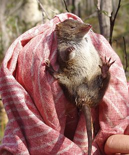 Antechinus swainsonii1.JPG