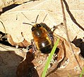 Anthophora plumipes male. Hairy-footed Flower Bee, male - Flickr - gailhampshire.jpg