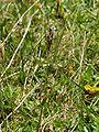 Anthoxanthum alpinum at Rax.jpg