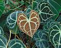 Anthurium clarinervium.jpg