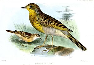 Yellow-breasted pipit - Image: Anthus Butleri Smit