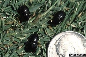 Aphodiinae - Image: Aphodius omissus omissus