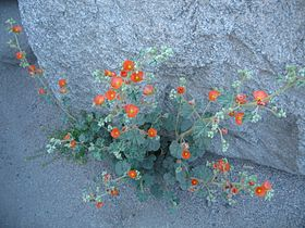 Apricot globemallow (Sphaeralcea ambigua); Hidden Valley (12525658895).jpg