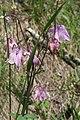 Aquilegia vulgaris - img 25685.jpg