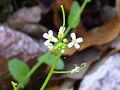 Arabis auriculata Enfoque 2011-4-10 SierraMadrona.jpg