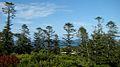 Araucaria heterophylla Endeavour Lodge Norfolk Island 1.jpg