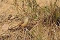 Aravalli BiodivPark Gurgaon DSC9118 v1.JPG