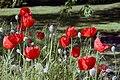 Arboretum Ellerhoop, roter Mohn.jpg