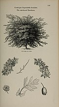 Arboretum et fruticetum britannicum, or - The trees and shrubs of Britain, native and foreign, hardy and half-hardy, pictorially and botanically delineated, and scientifically and popularly described (14783613942).jpg