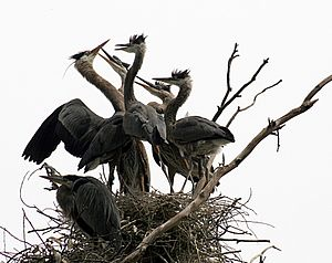 Great Blue Herons at the nest