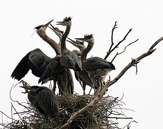 Nanjemoy, Maryland - Great blue herons at a nest