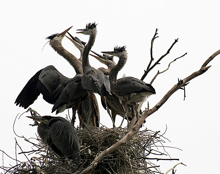File:Ardea herodias at the nest 11.jpg