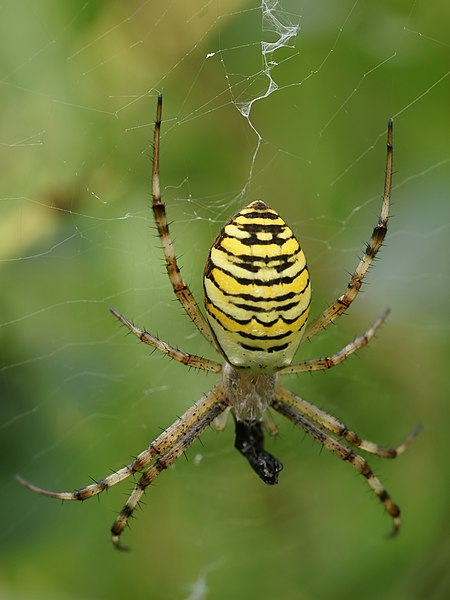 Wasp spider close to Brigueuil, Charente, France