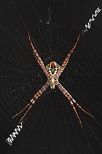 Argiope spider female adult on her web ventral view black background Don Det Laos.jpg