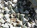Ariocarpus retusus v. scapharostroides (5710318955).jpg