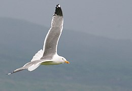 Armenian Gull in flight, stormy weather.jpg
