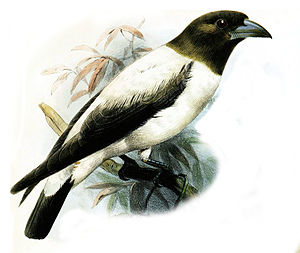 Ivory-backed woodswallow - Image: Artamus Monachus Smit
