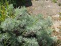 Artemisia alba Canescens - Flickr - peganum.jpg