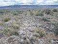 Artemisia pedatifida — Matt Lavin 003.jpg