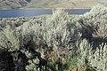 Artemisia tridentata kz08.jpg