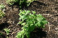 Artemisia vulgaris young shoot 8601.JPG