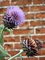 Artichoke (Cynara scolymus) - flower - geograph.org.uk - 935424.jpg