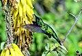 Aruba-Blue-tailed-Emerald-Arikok-NP (cropped).JPG