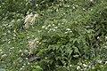 Aruncus vulgaris, Giresun 2017-07-07 01-3.jpg