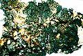 Asahinea scholanderi.jpg
