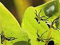 Asclepias syriaca-Oncopeltus fasciatus-exuviae.jpg