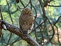 Asian Barred Owlet (Glaucidium cuculoides) (39560069722).jpg