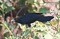 Asian Koel Eudynamys scolopaceus Male by Dr. Raju Kasambe (3).JPG