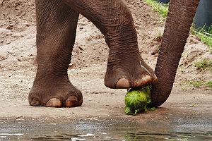 Asian elephant eating