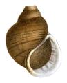 Asolene petiti shell.png