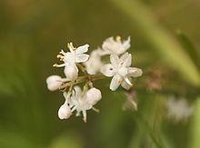220px-Asparagus_racemosus_fleurs.JPG
