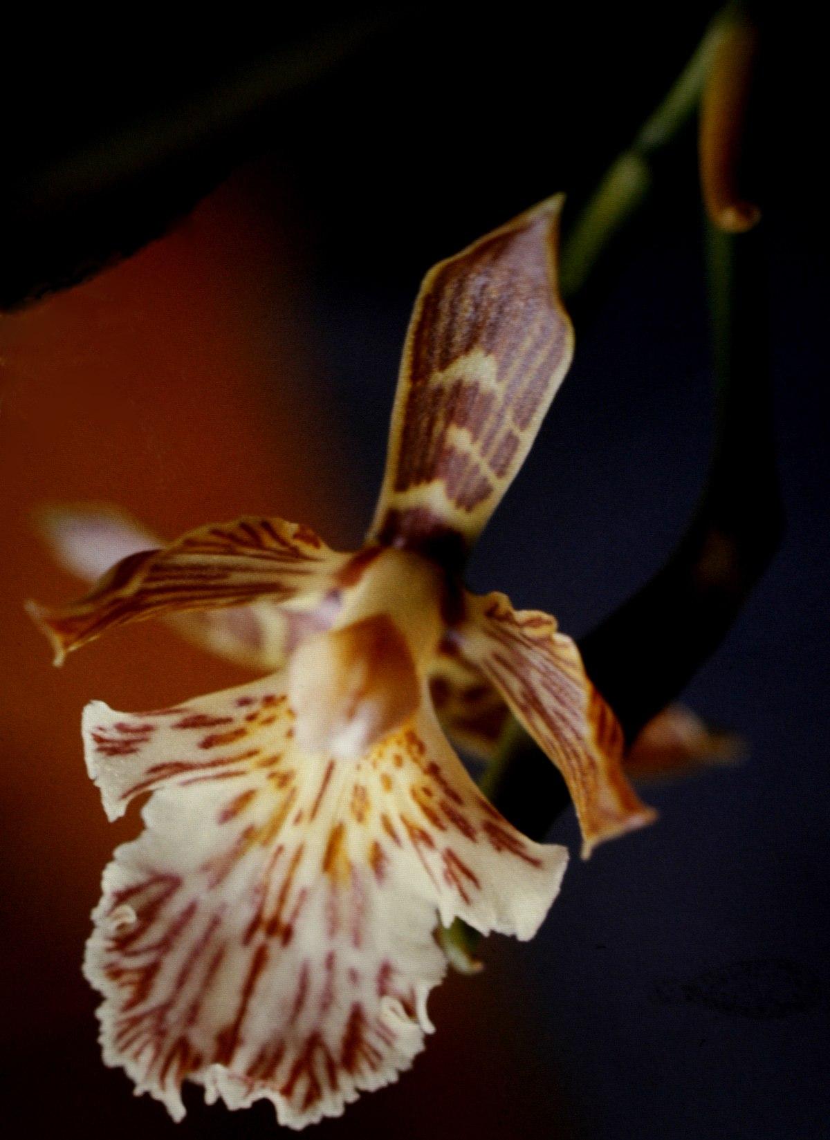 Aspasia Plant Wikipedia