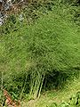 Asperge planten Asparagus officinalis.jpg