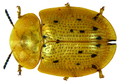 Aspidimorpha nigromaculata (Herbst, 1799).png
