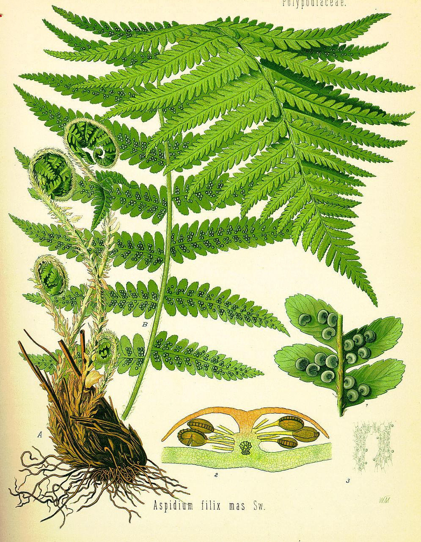 Aspidium filix-mas (Köhler).jpg