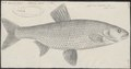 Aspius rapax - 1774-1804 - Print - Iconographia Zoologica - Special Collections University of Amsterdam - UBA01 IZ15000141.tif