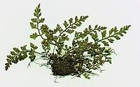 Asplenium montanum specimen.jpg