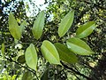 Atlantia monophylla 04.JPG
