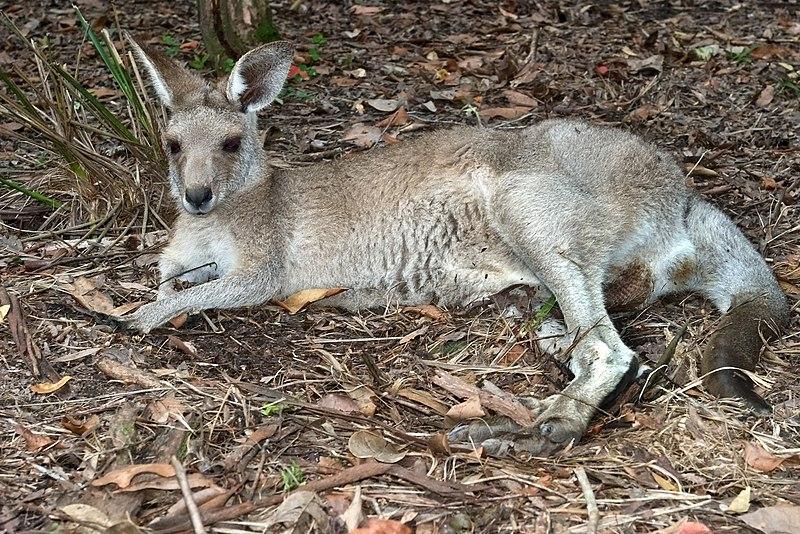 File:Australia Zoo Kangaroo-02and (3382074626).jpg