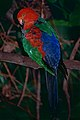 Australian King Parrot (Alisterus scapularis) male (9757473321).jpg