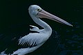 Australian Pelican (Pelecanus conspicillatus) (10243939925).jpg