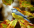 Autumn blue tit (22559154540).jpg