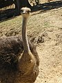 Avestruz no Badoca Safari Park - panoramio.jpg